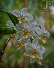 die gemeine Orchidee
