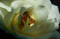 ~ die geschenkte Rose ~