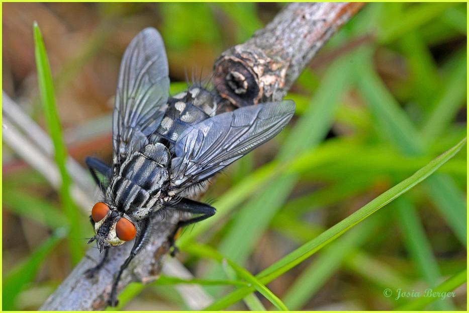 Die gewöhnliche Fliege