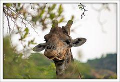 Die Giraffe hat einen Vogel...