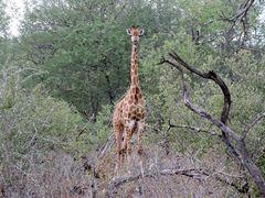 Die Giraffe schaut neugierig auf die Wanderer .