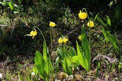 Die Gletscherlilie, Glacier Lilly (Erythronium grandiflorum)...