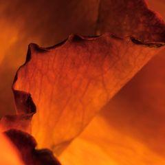 Die Goldene Rose von ....