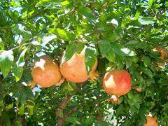 Die Granatapfelbäume