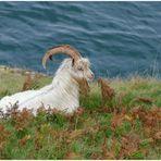 Die Great Orme Kaschmir Ziege