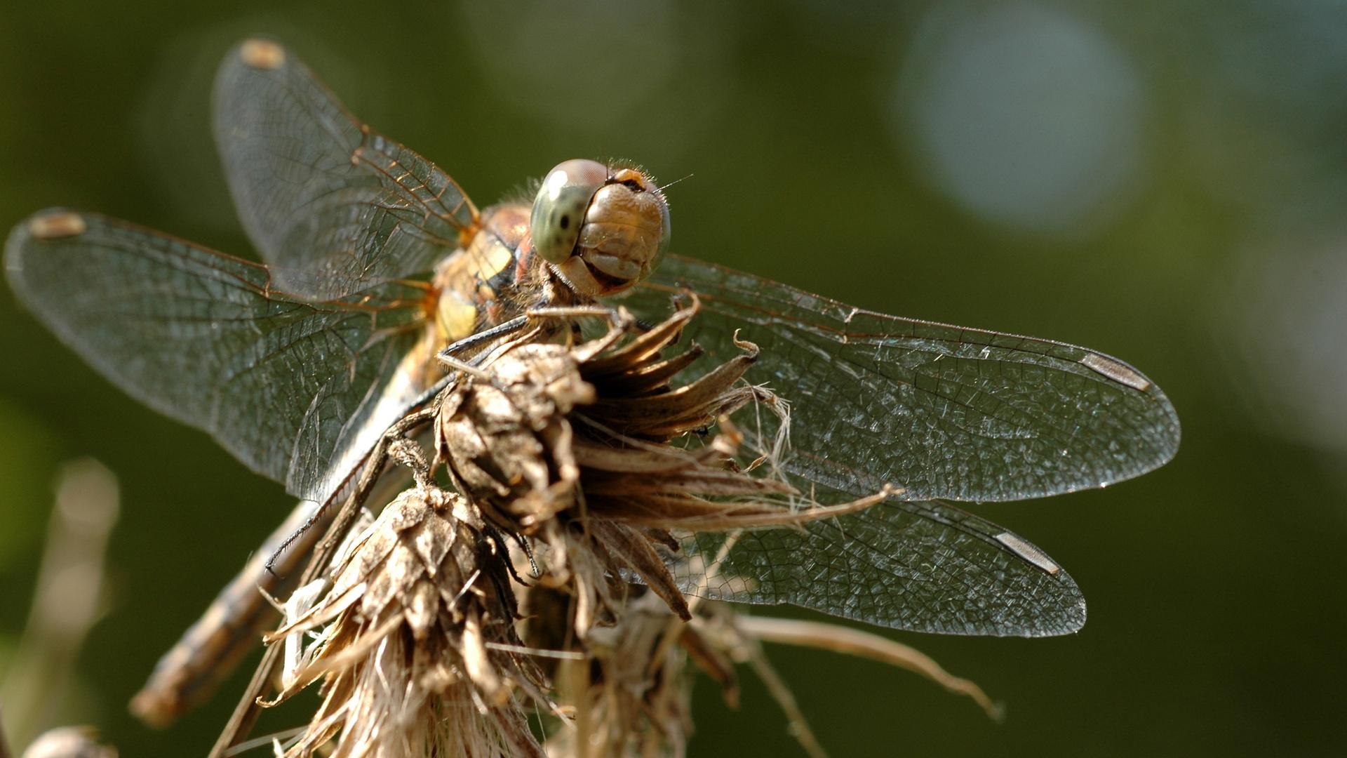 die grinsende Libelle