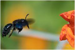 Die große blaue Holzbiene