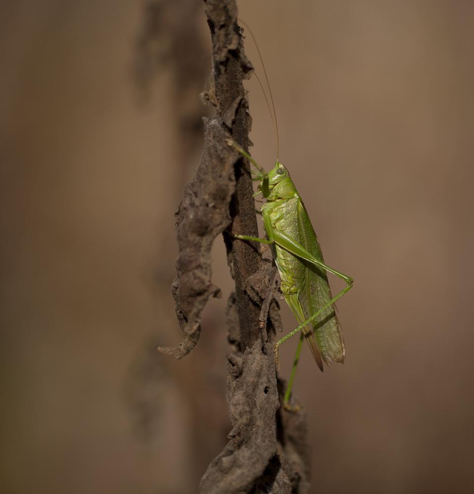 Die Grüne Dame