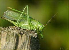 Die 'Grüne Heupferddame'...