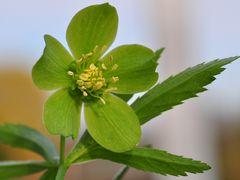 Die Grüne Nieswurz (Helleborus viridis)