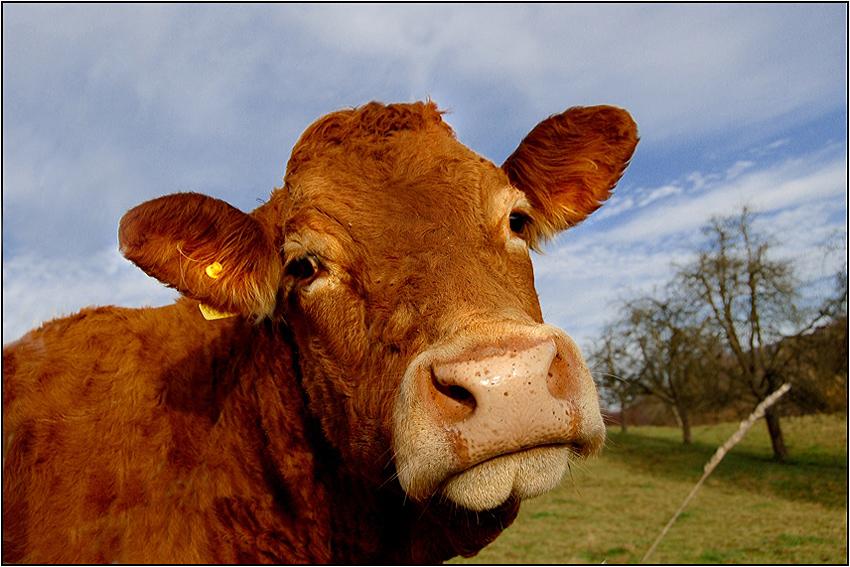 Die guten Morgen Kuh...