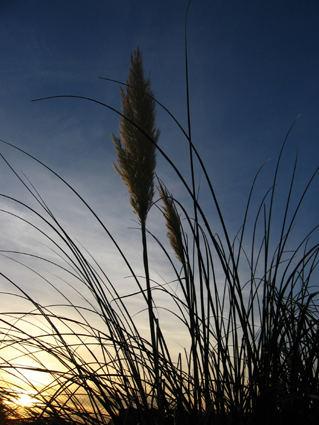 ....die Halme wehen im Sonnenuntergang