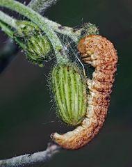 Die Hasenlattich-Eule (Hecatera bicolorata) auf ihrer Wirtspflanze.