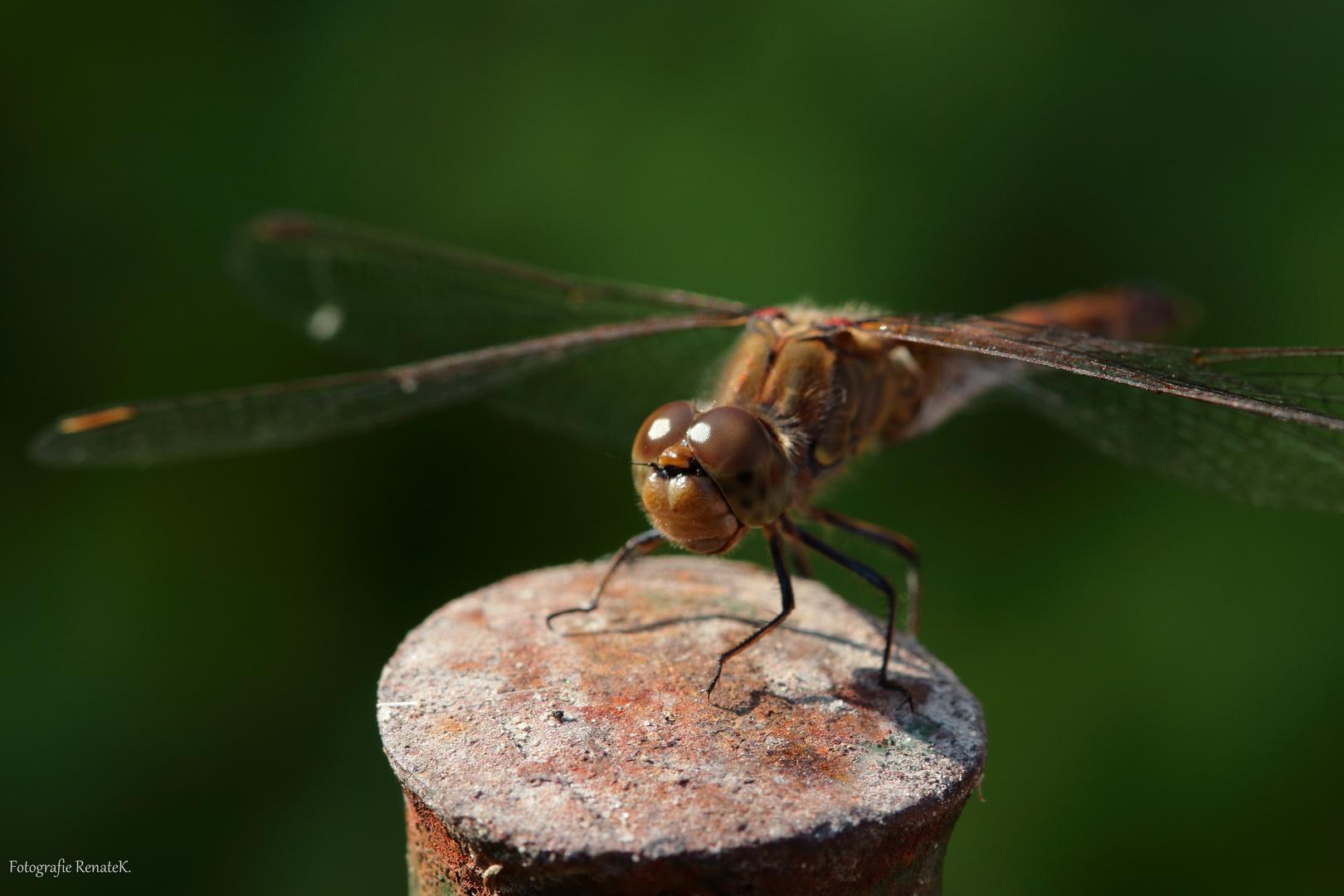 Die Heidelibelle (Weibchen)