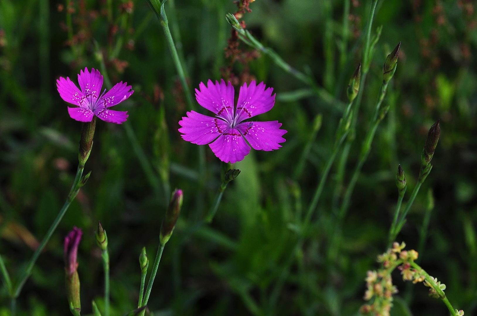 Die Heidenelke (Dianthus deltoides)