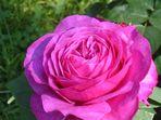 die Heidi Klum Rose