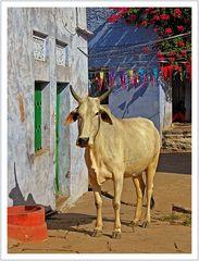 Die heilige Kuh