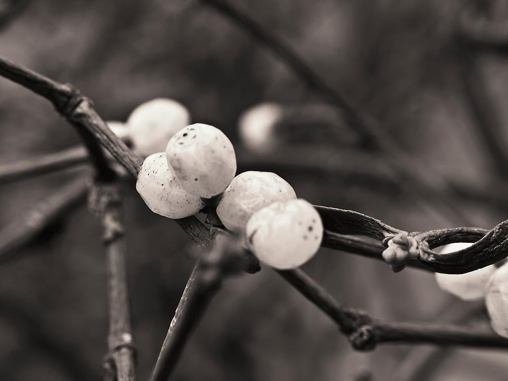 Die heiligste Pflanze der gallischen Druiden
