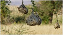 die Heimat der Weber-Vögel............................