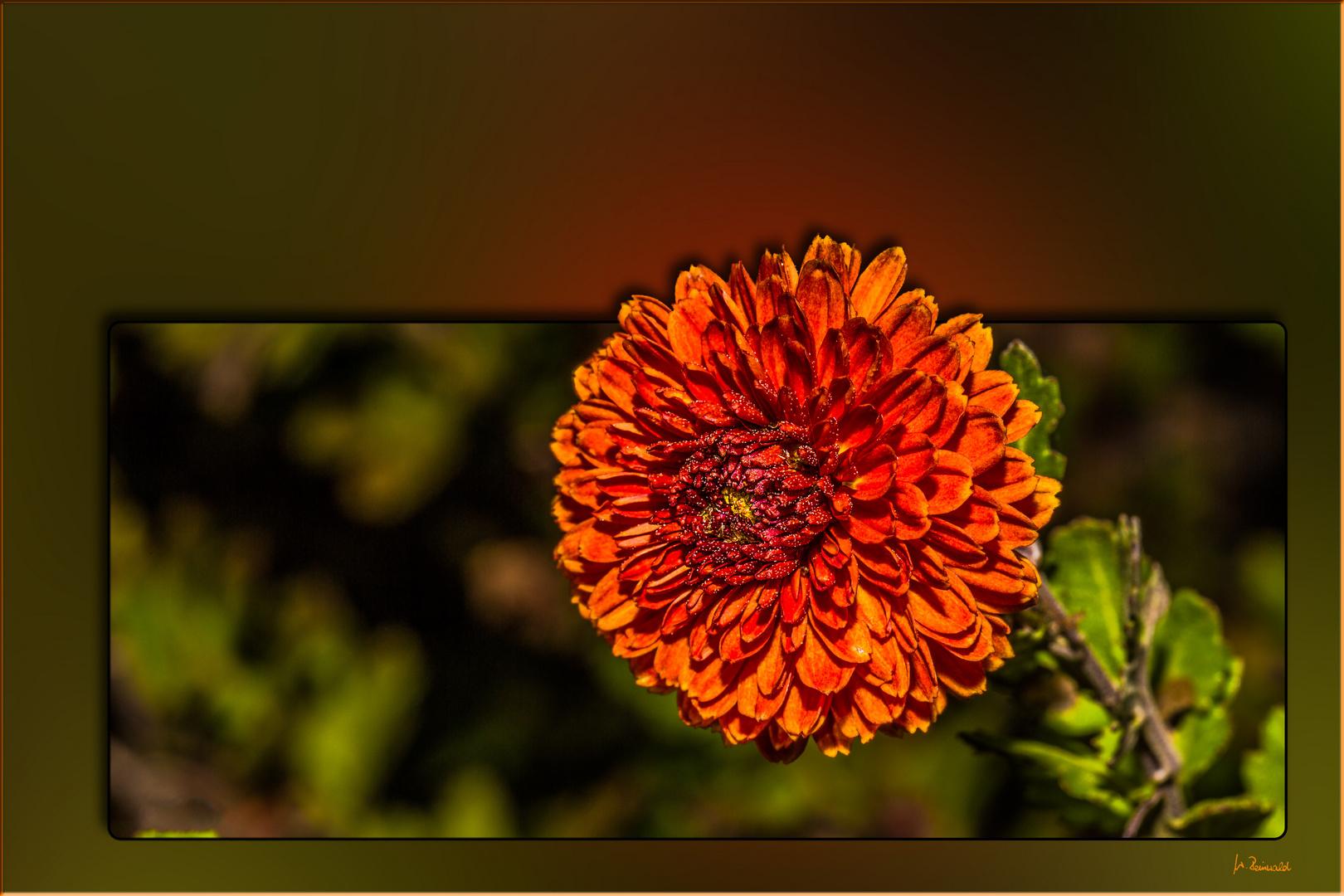 Die Herbstaster ...