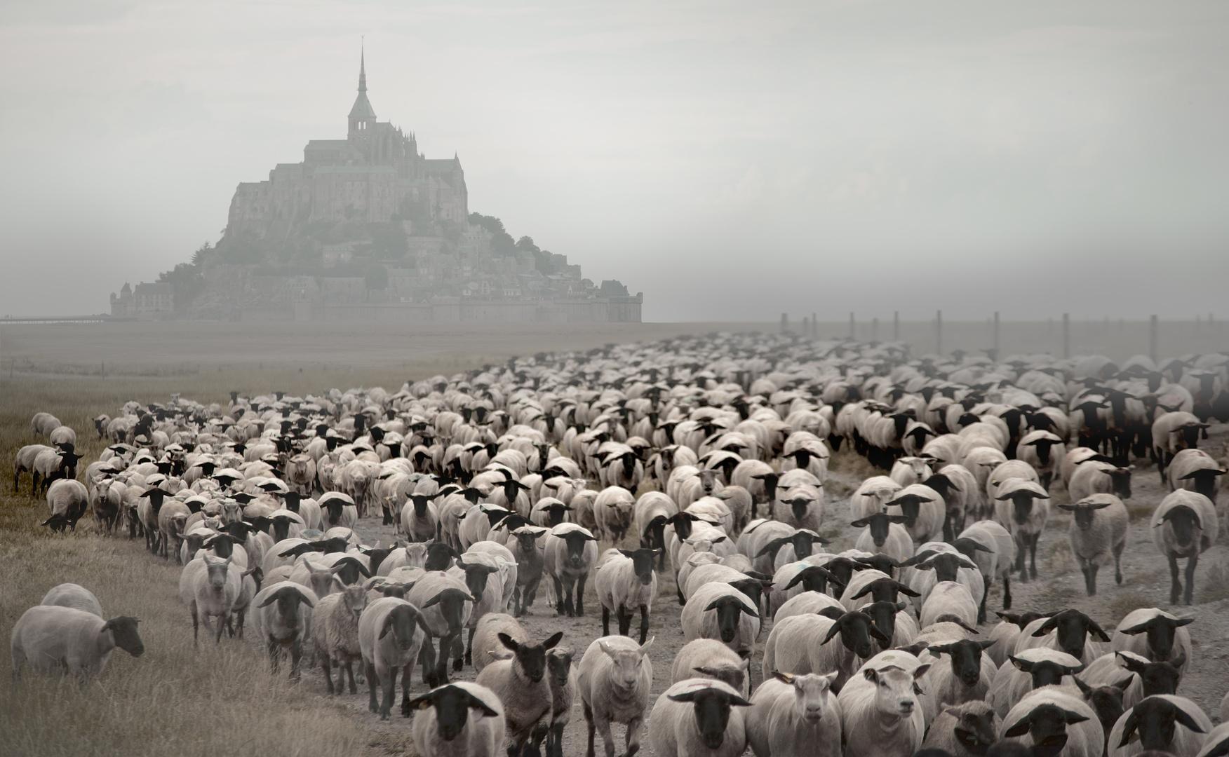 Die Herde vom Mont Saint Michel