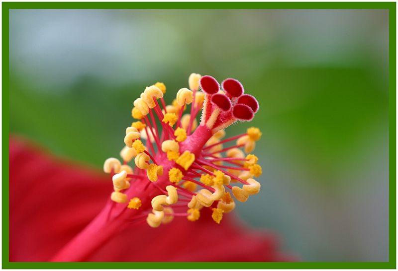 Die Hibiskusblüte .......