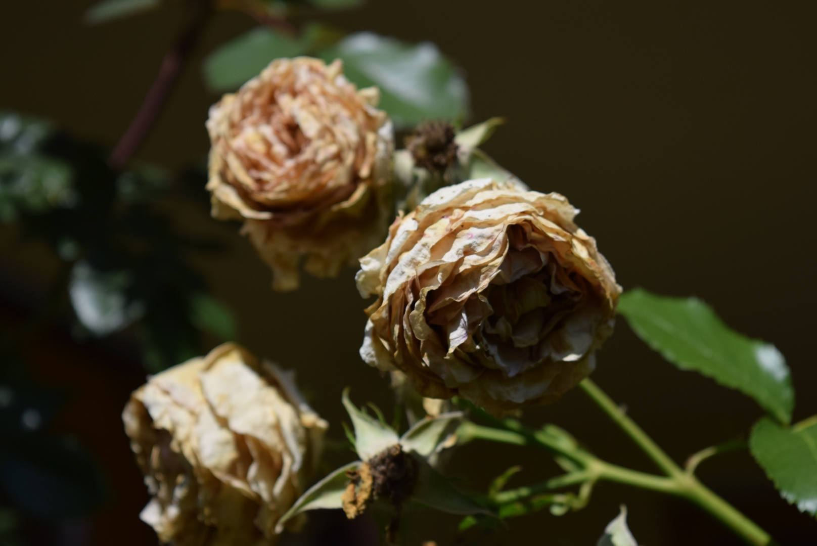Die Hitze hat den Rosen schon so zugesetzt!