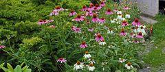 """Die """"Hochzeit von Echinacea"""" meiner Sommerlieblingsblumen hat begonnen..."""