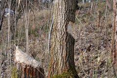 Die Holzfäller...