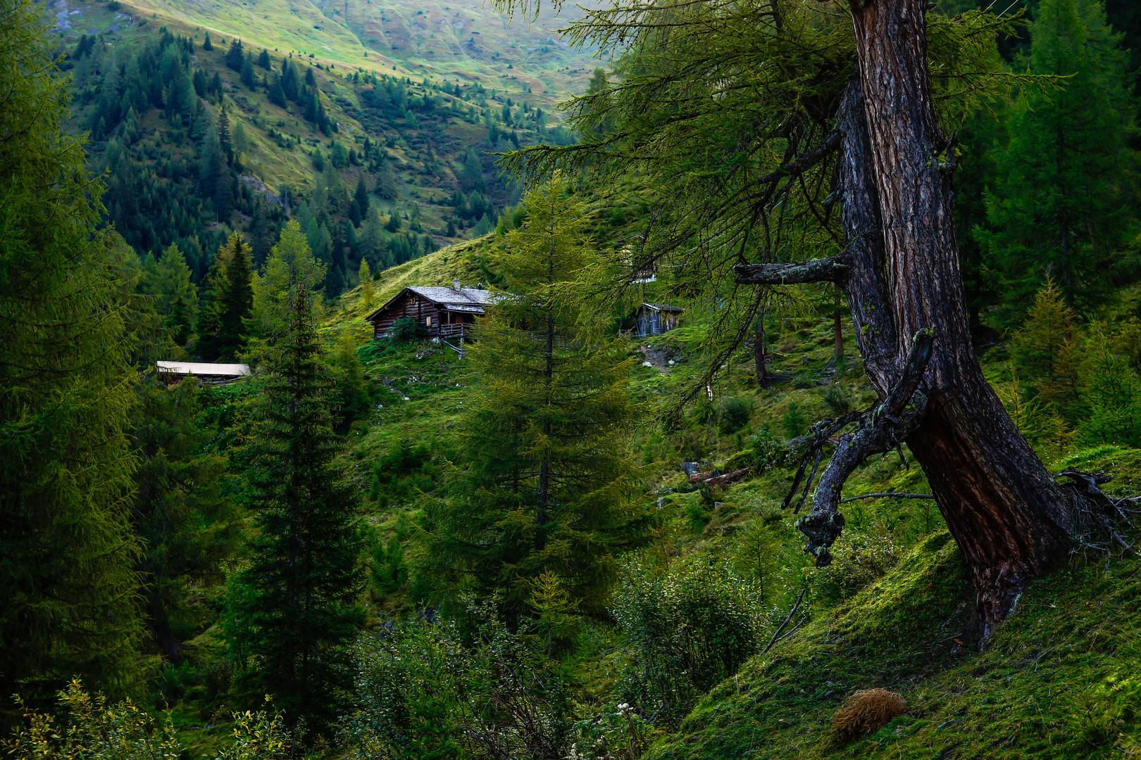 Die Hütte und der alte Baum, frühmorgens.