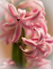 Die Hyazinthe (Hyacinthus) macht mit ihren bunten Blüten den Frühling erst perfekt