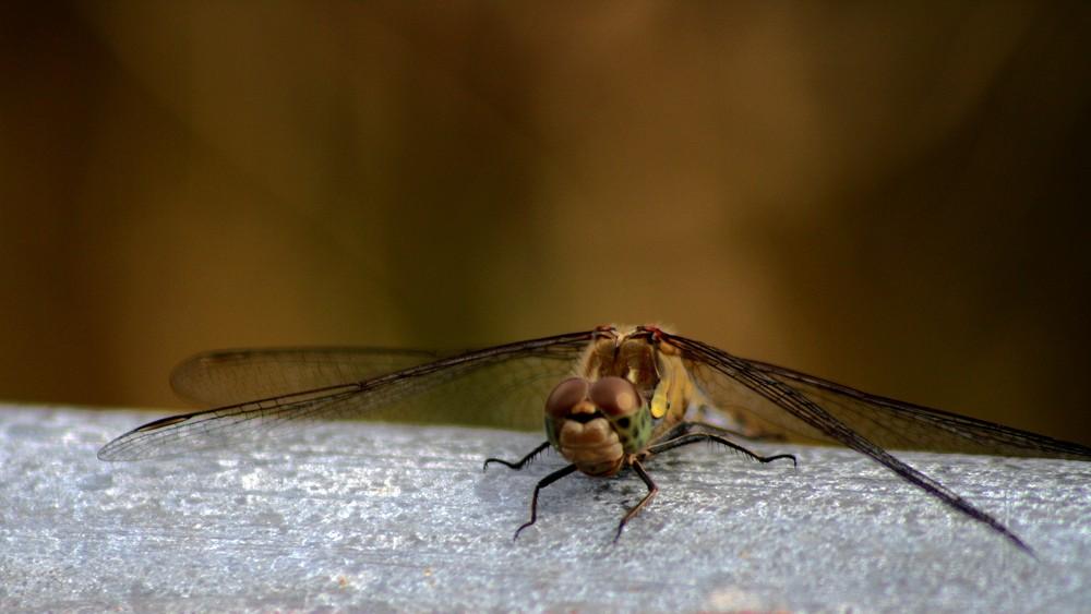 Die Hypno-Libelle.....