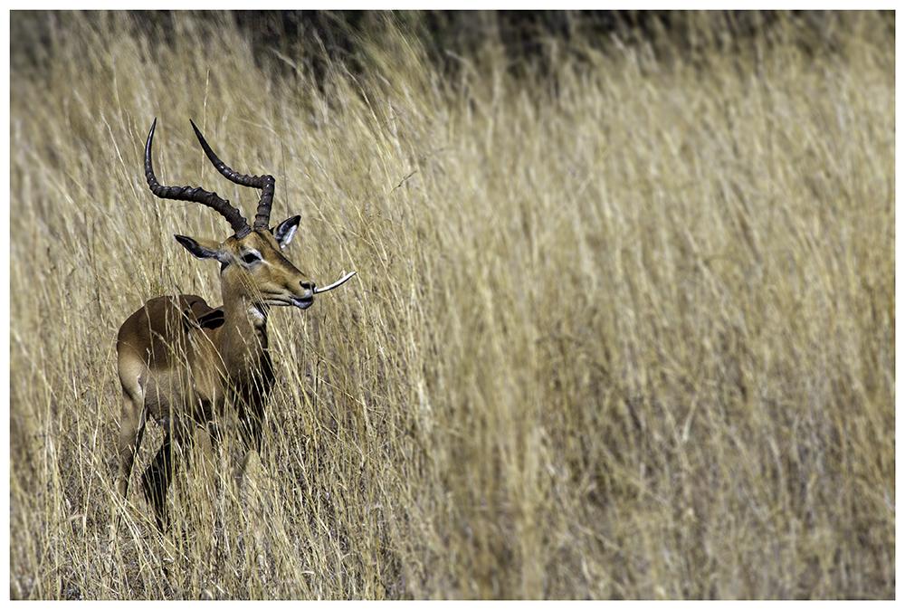 Die Impala (Aepyceros melampus)...