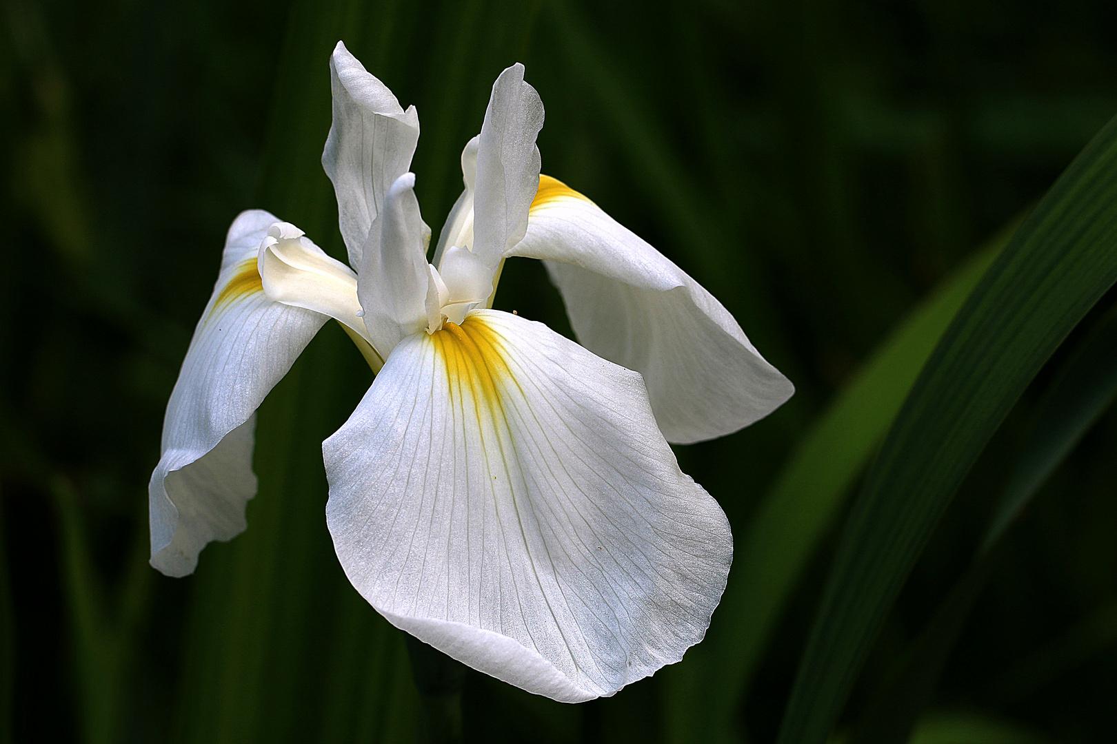 die Iris vom Teich