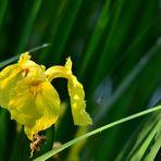 Die Irisblüte