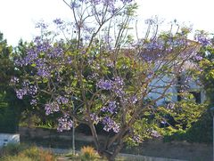 die Jacarandabäume blühen
