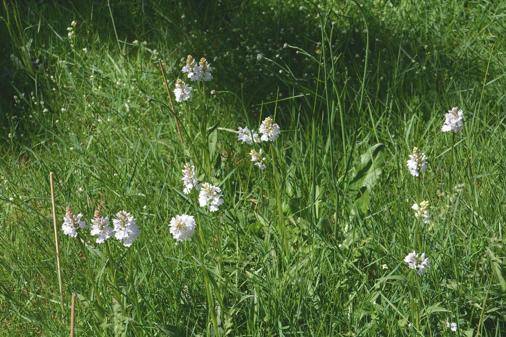 Die jährliche Freude: Ca. 60 wilde Orchideen in meiner Wiese