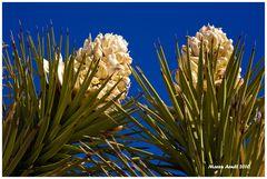 Die Joshua Trees blühen