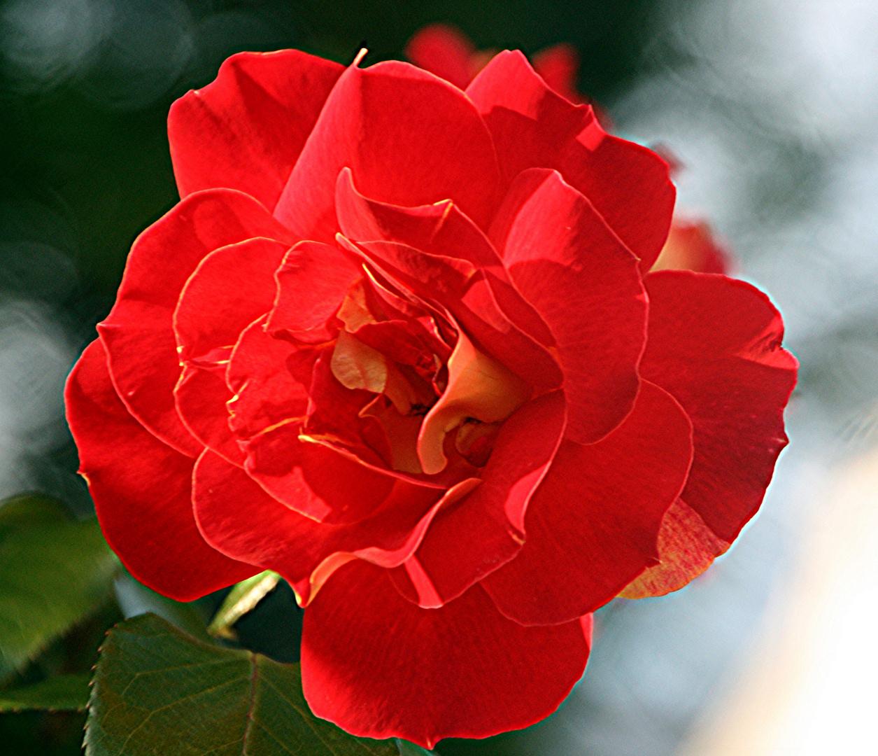 Die Jung-Fern-Rose.