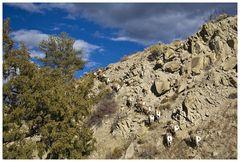 Die jungen Wilden - Bighorn Sheep.....
