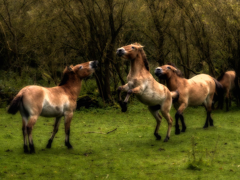 die jungen Wilden ( Przewalski-Pferd )