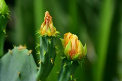Die Kaktusblüte hängt an einem seidenen Faden ...