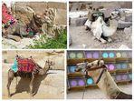 Die Kamele...