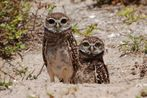 Die Kanincheneule - Burrowing Owl (Athene cunicularia)...