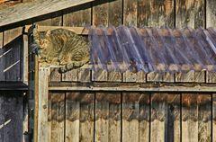 Die Katze auf der warmen Holzwand.