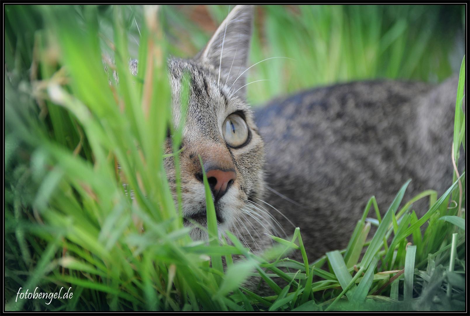 Die Katze im Gras