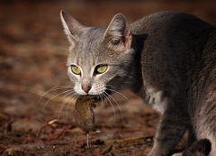 Die Katze kann das Mausen nicht lassen