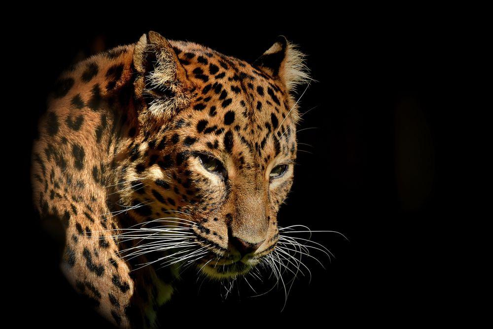 katze leopard