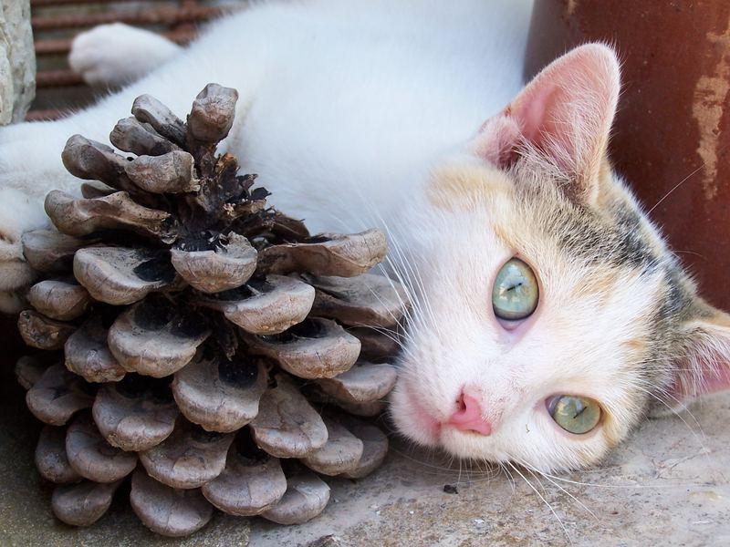 Die Katze mit dem Tannenzapfen