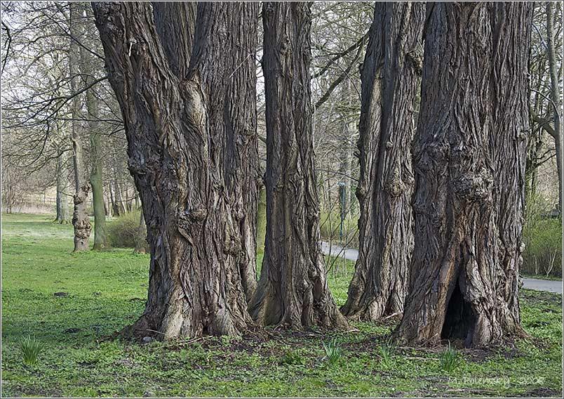 Die Kaukasische Flügelnuss als Baumgruppe
